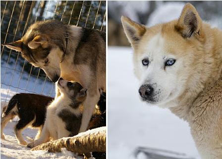 Granja de Huskies