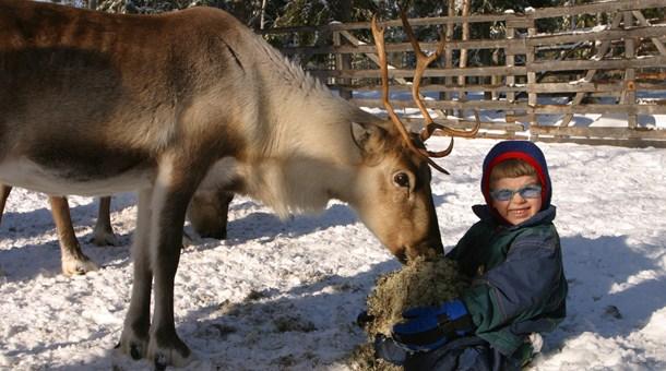 Niños dando de comer a los renos Granja de renos