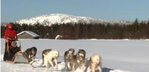 Trineo de perros huskies corriendo
