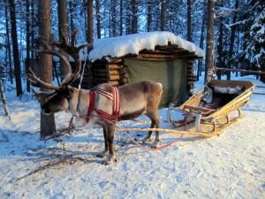 Granja de renos en Laponia